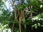 Preguiça morta em reserva natural no Amapá pode ter sido apedrejada