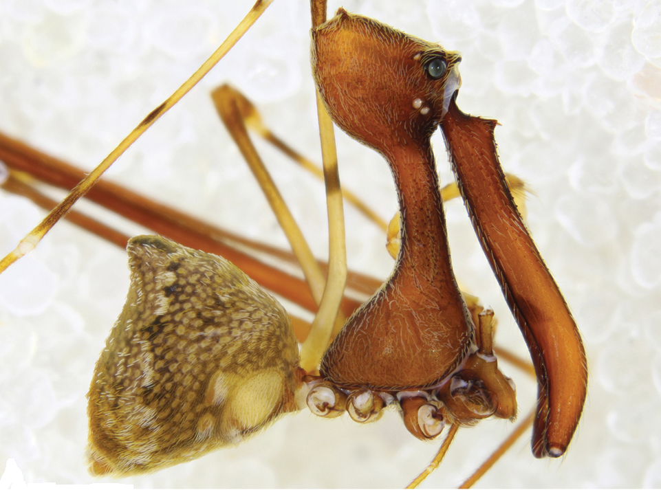 Aranha-pelicano (Foto: A review of the Madagascan pelican spiders of the genera Eriauchenius O. Pickard-Cambridge, 1881 and Madagascarchaea gen. n./Reprodução)