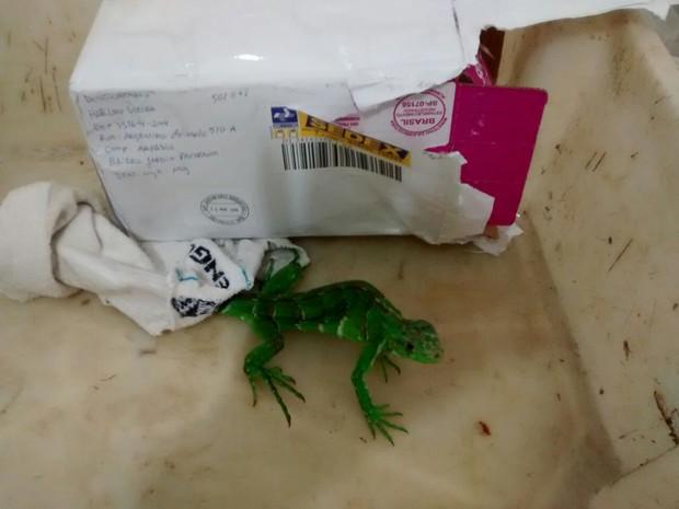 Iguana é encontrada sendo transporta de São Paulo para Ipatinga (Foto: Patrícia Belo/G1)