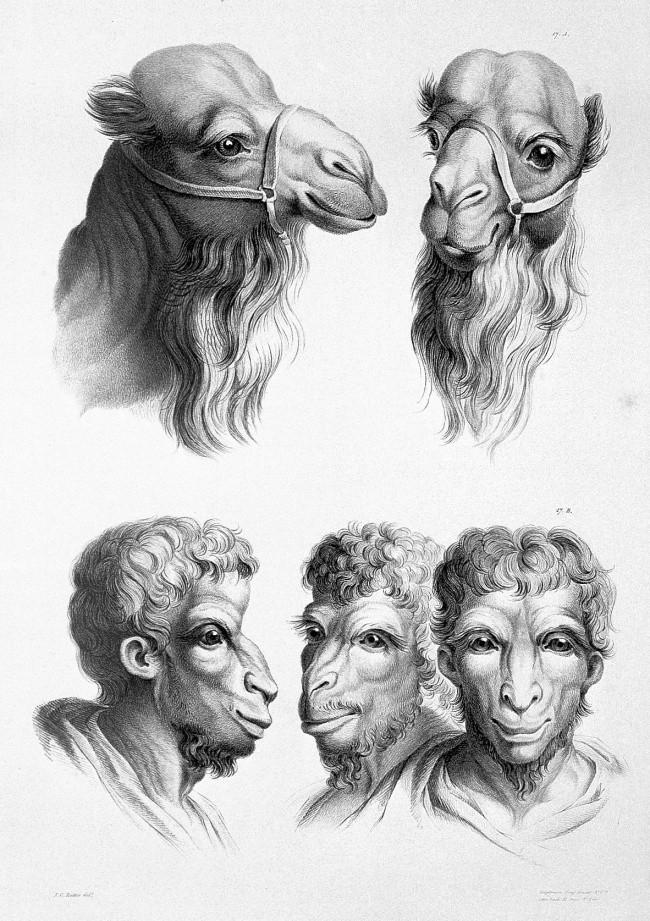 Camelo (Foto: Reprodução/Charles Le Brun)