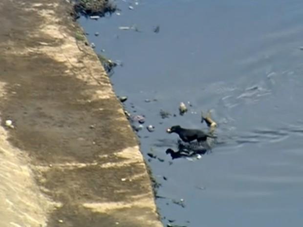 Cachorro nada e recolhe lixo no Rio Tietê em São Paulo (Foto: Reprodução/TV Globo)