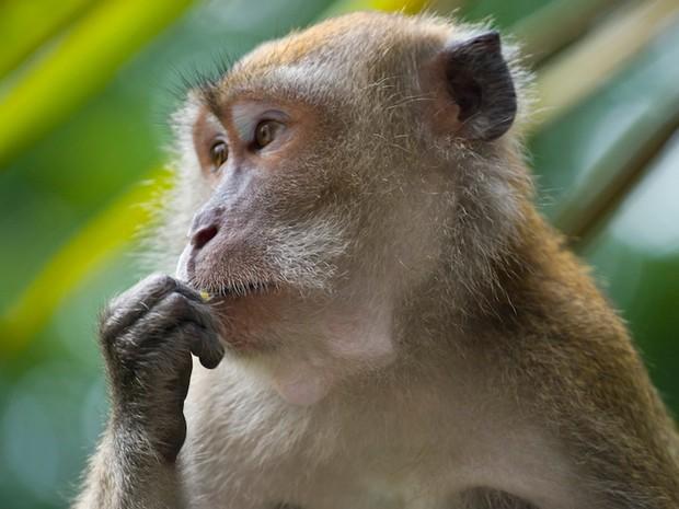 Macaco da espécie 'Macaca fascicularis', mesma usada no estudo que modificou genes de macacos para reproduzir sintomas similares aos do autismo (Foto: André Ueberbach/Creative Commons)