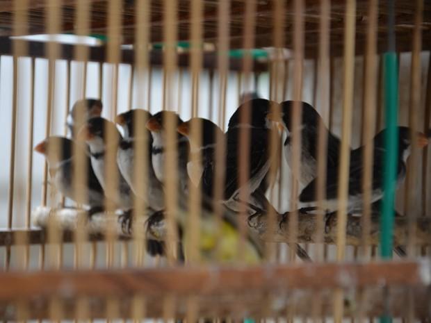 """""""Fizemos o flagrante e constatamos que ele tinha em posse aproximadamente 40 aves. Ele foi preso e levado para a 1ª Delegacia Distrital, em Cruz das Armas, e vai pagar uma multa de R$ 500 por cada ave"""", finalizou o sargento. (Foto: Walter Paparazzo/G1)"""