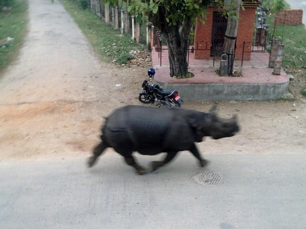 Rinoceronte escapa de reserva e circula por cidade de Hetauda, no Nepal  (Foto: Bidur Giri/AFP)
