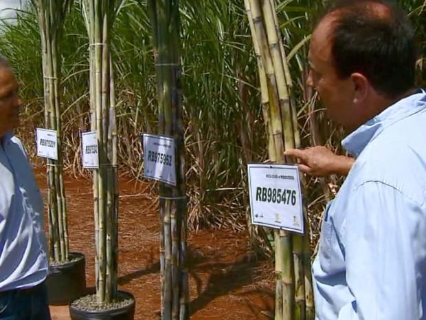 Pesquisadores com as quatro novas variedades de cana no campus em Araras (Foto: Ely Venâncio/EPTV)