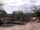 Criadores de AL estão perdendo os animais por causa da seca