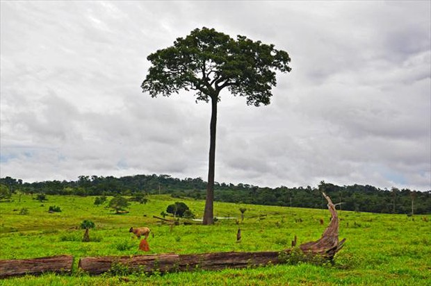 Desmatamento desenfreado na Amazônia tornou a espécie vulnerável, segundo a União Internacional para a Conservação da Natureza e dos Recursos Naturais (Foto: Carlos Alberto Coutinho / TG)
