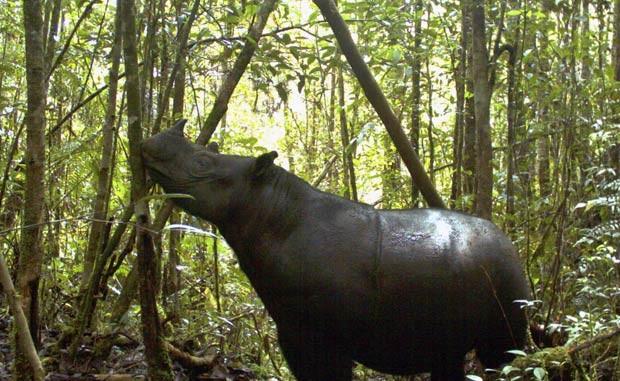 Rinoceronte-de-Sumatra em foto não datada no parque indonésio de Gunung Leuser (Foto: Leuser International Foundation/AP)