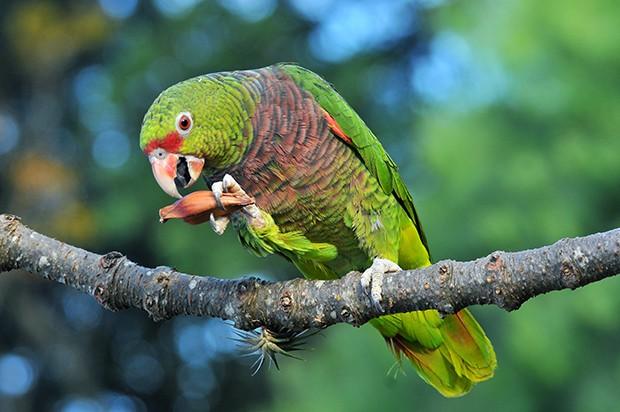 papagaio-de-peito-roxo (Amazona vinacea) (Foto: Rudimar Narciso Cipriani)