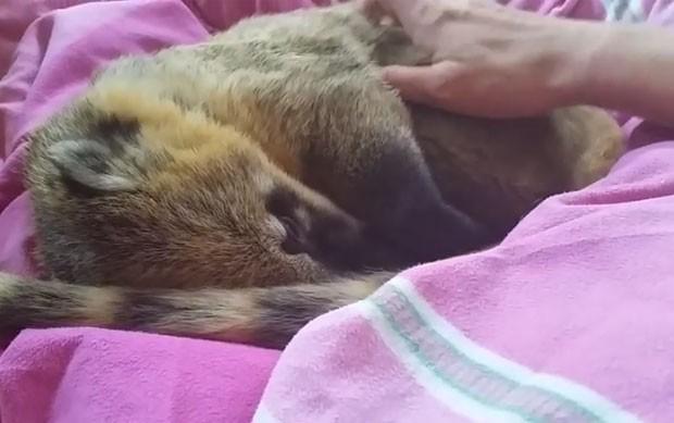 Quati não deixou homem parar carinhos (Foto: Reprodução/YouTube/Nicolle von Eberkopf)