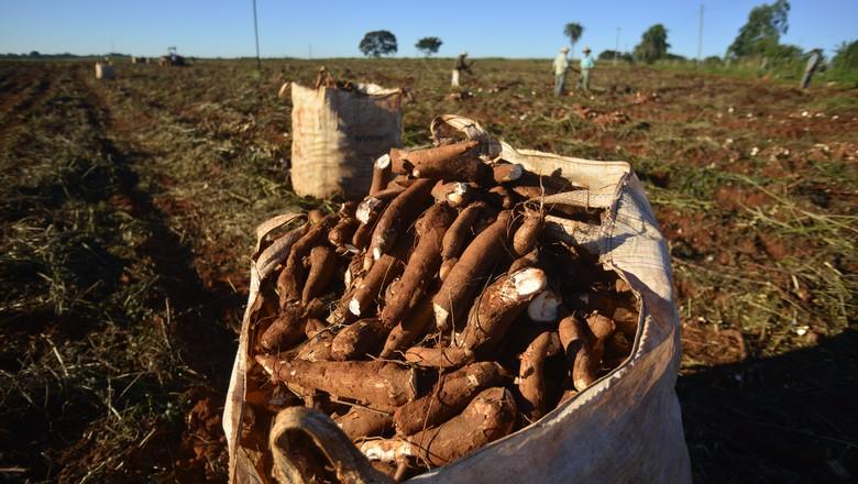 mandioca-produção-agricola (Foto: Ernesto de Souza/Ed. Globo)