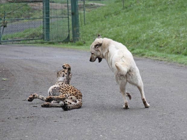 Guepardo e cão são amigos inseparáveis. (Foto: Barcroft Media/Getty Images)