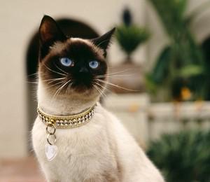 Gato siamês (Foto: sxc)