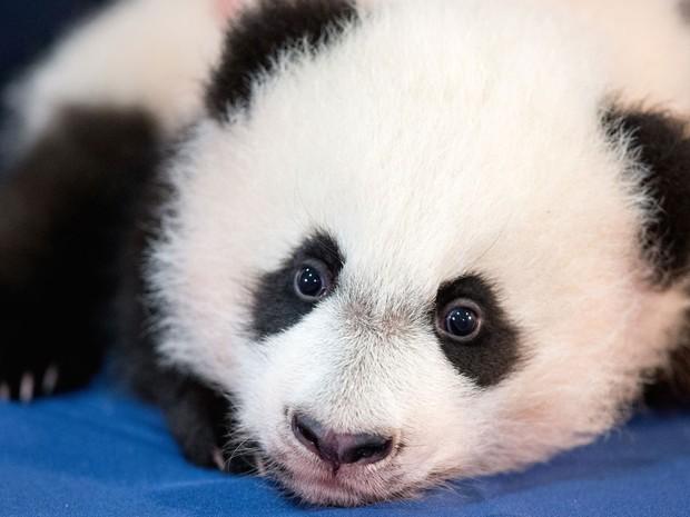 O filhote de panda gigante Bei Bei é apresentado oficialmente pelo Zoológico Nacional de Washington na quarta (16) (Foto: AP Photo/Andrew Harnik)