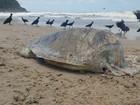 Tartaruga ameaçada de extinção é achada sem cabeça em praia de SP
