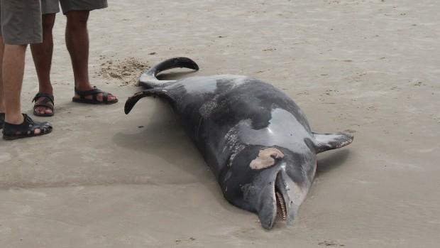 Boto de mais de 3m é achado morto na praia (Éverton Nunes/Brigada Militar)