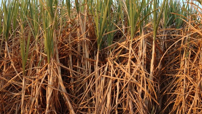 plantação_cana_canavial (Foto: Ernesto de Souza / Editora Globo)