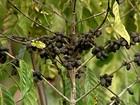 Falta de chuva prejudica a produção de café conilon no Espírito Santo