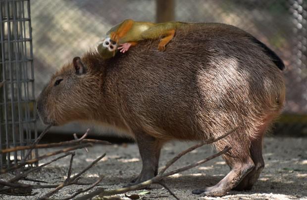 Macaco-de-cheiro é flagrado usando uma capivara como cama em zoo japonês (Foto: Kazuhiro Nogi/AFP)