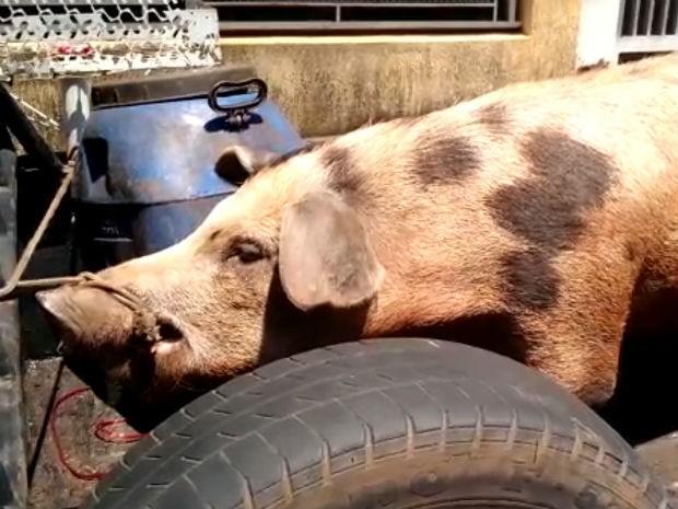 Porco foi encontrado amarrado pelo focinho em caminhonete (Foto: Polícia Ambiental/Divulgação)