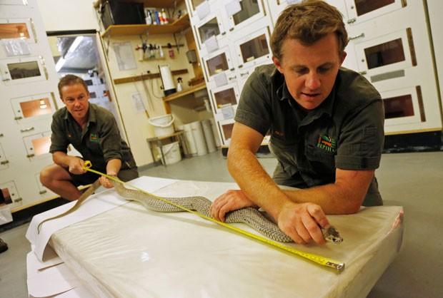 Cobra-marrom de 2 metros foi capturada em subúrbio de Brisbane (Foto: Jason Reed/Reuters)