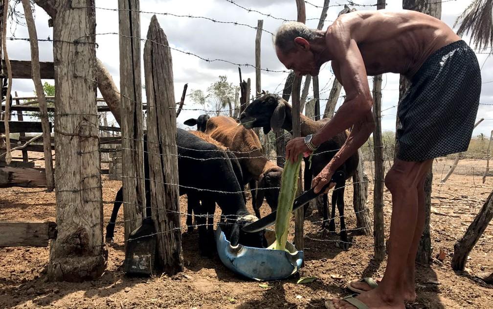 Seu Antônio alimenta com mandacaru os animais em Feira de Santana, no interior da Bahia (Foto: Alan Tiago Alves/G1)