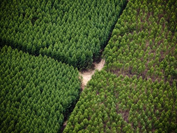 Resultado de imagem para muitos pés de eucalipto