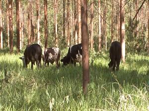 Plantação de eucalíptos tem espaço para gado pastar (Foto: TV Integração/Reprodução)