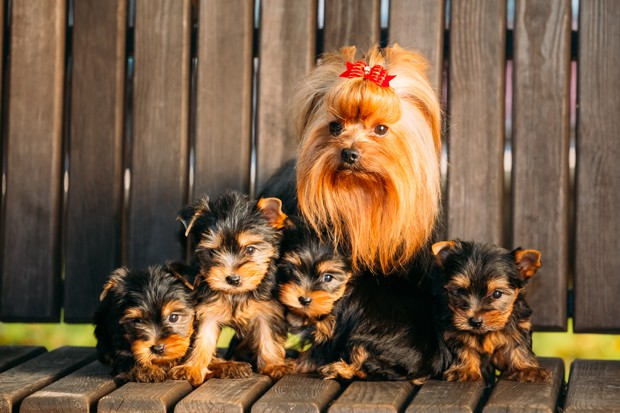 Adult Yorkshire Terrier dog with puppies sitting in wooden bench (Foto: Getty Images/iStockphoto)