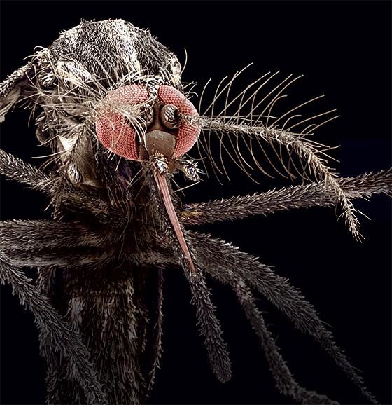 O INIMIGO Aedes aegypti, o mosquito que carrega o vírus  da dengue. Ele se adapta aos venenos e conquista novos territórios (Foto: reprodução)