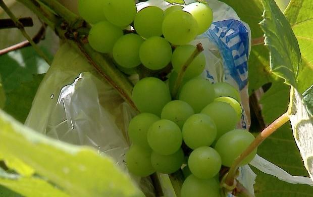 Uva do tipo niágara dá fruto pelo menos 5 vezes ao ano (Foto: Amazônia Rural)