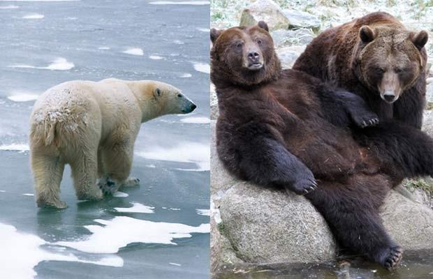 Urso-polar e urso-pardo. (Foto: Hansruedi Weyrich/Science e Bernd Wuestneck/AFP)