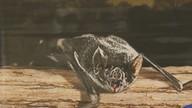 Raiva bovina é confirmada em Ariquemes após morte de animal