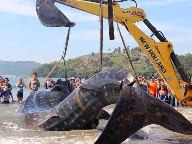 Tubarão baleia (Foto: Fabiane de Bona Garcia/VC no G1)