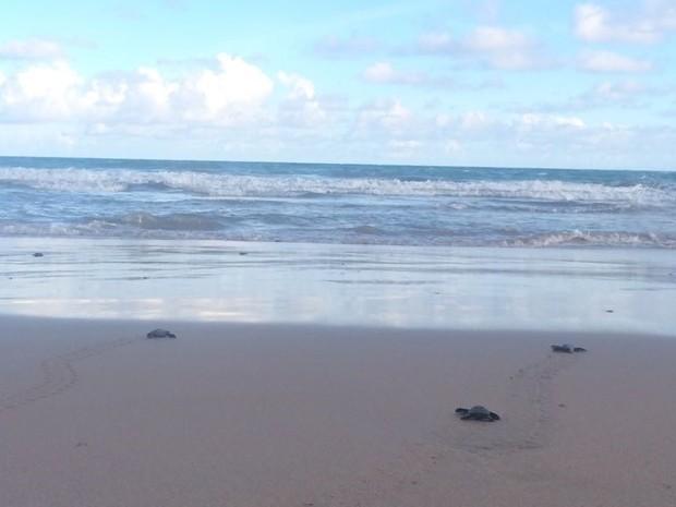 Filhotes foram soltos no mar  (Foto: Carolina Sanches/G1)