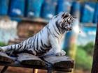 Filhote de tigre branco e abelha fazem 'encarada do século' em zoo grego