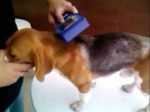 Aparelho detectou o número do beagle através do chip implantado no cão (Foto: Reprodução/Instituto Royal)