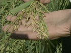 Preços do arroz e trigo devem permanecer em baixa, diz FAO