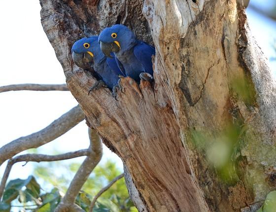 A  arara-azul-grande (Anodorhynchus hyacinthinus), uma das espécies que saíram da lista de animais ameaçados de extinção (Foto: Geoff Gallice/Wikimedia Commons)