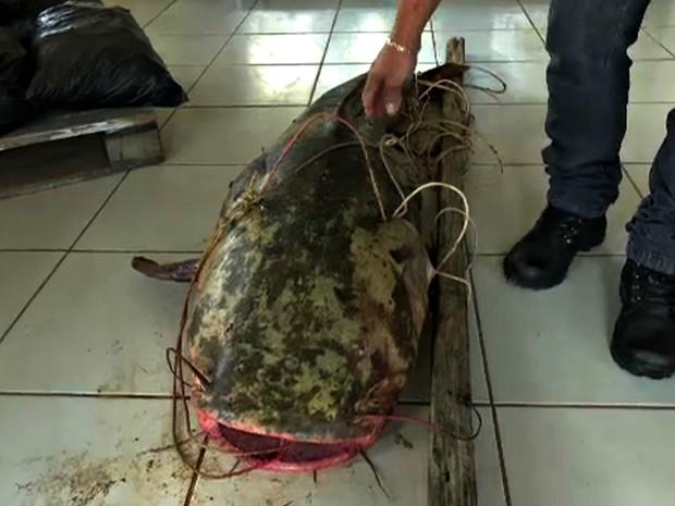 Especialista diz que animais desse porte são raros de encontrar no Rio Acre, embora sejam comuns na Região Amazônica (Foto: Reprodução/Rede Amazônica Acre)