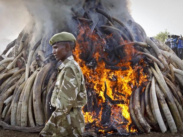 Um guarda do Serviço de Vida Selvagem do Quênia acompanha a queima de 15 toneladas de presas de elefantes, no Parque Nacional de Nairobi, na terça-feira (3) (Foto: AP Photo/Khalil Senosi)