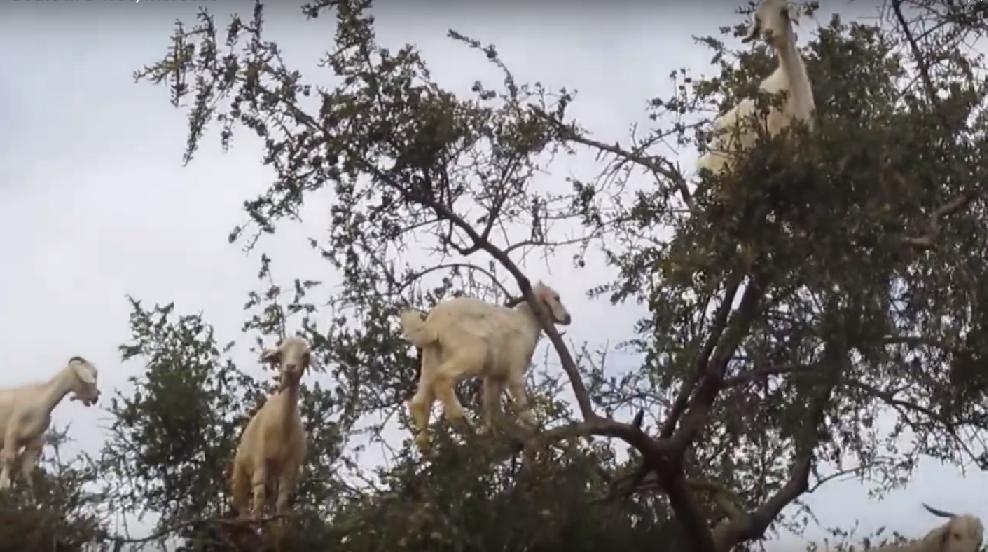 Cabras são vistas em cima das árvores (Foto: Reprodução/YouTube)