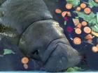 Cinco peixes-boi serão transferidos de Pernambuco para ilha no Caribe