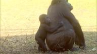 Prefeitura confirma gravidez das duas gorilas do zoo de BH