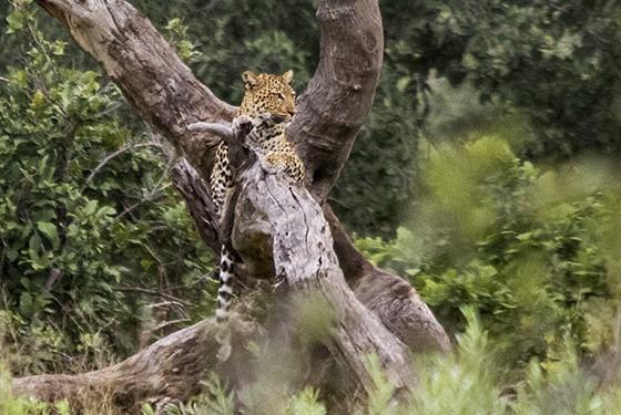 Do alto, o leopardo tem uma visão privilegiada dos momentos dos outros animais (Foto: © Haroldo Castro/ÉPOCA)