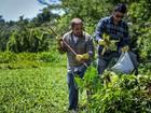 Pesquisadores da UEPA usam plantas nocivas para produzir energia