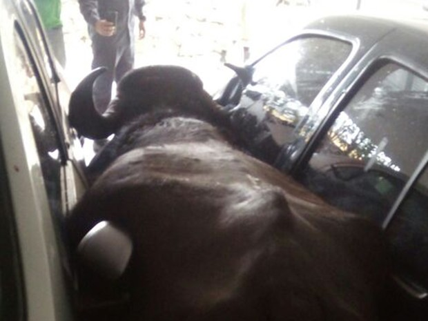 Búfalo é abatido por policial em Sabará (Foto: Francisco Dário dos Santos/Arquivo Pessoal)