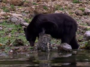 Urso Preto (Foto: Reprodução)