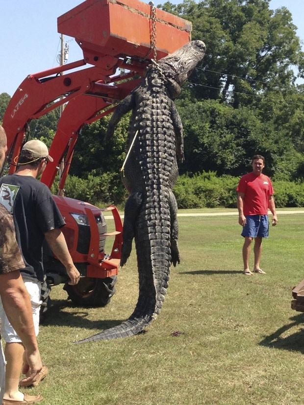 Grupo usou um trator para conseguir erguer aligátor (jacaré americano) de 330 quilos e 3,96 metros (Foto: Ryan Bockman/Reuters )