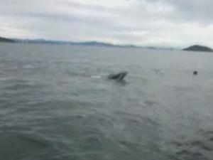 Pescadores conseguiram retirar a baleia que estava enrolada às redes (Foto: Reprodução/RBS TV)
